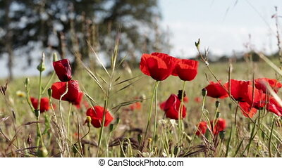 Poppies on the move in the wind. In the meadow.