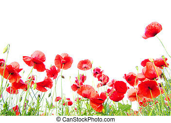 poppies on white - Field of beautiful red poppies isolated...