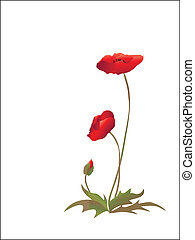 Poppies on white - Poppies isolated on white background. ...
