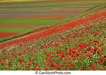 poppies over Piano Grande (Great Plain) large plateau in the...