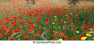 poppies - panorama view of poppy field