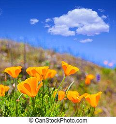 Poppies poppy flowers in orange at California spring fields USA