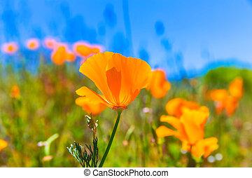 Poppies poppy flowers in orange at California spring fields