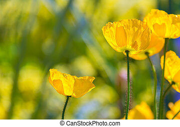Poppies Poppy flowes in California san Francisco spring