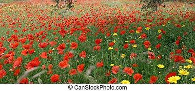 poppies - panorama view of poppy field