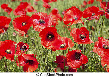 Poppies - A field of bright poppies.