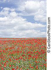 Poppies Stretching Across A Field