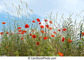 Summer wild vegetation with poppies, ideal for backgrounds and textures