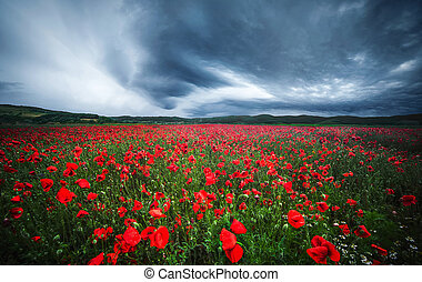 Poppies with dramatic sky