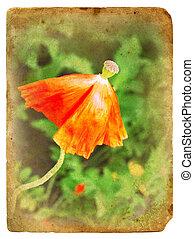 poppy., 古い, overblown, postcard.