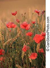 Poppy 221