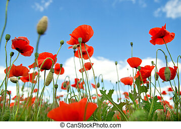 poppy against blue sky