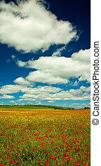 Poppy and rape field