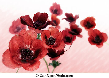 Poppy Anemones on an abstract pink background.