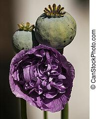 Poppy Blossom and Seed Head - Macro photo of a poppy blossom...