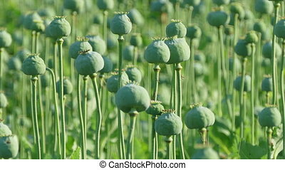 Green poppy cocoons plant in field, zoom in HD footage