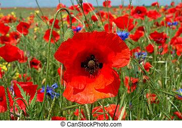 Poppy - Digital photo of a poppy in a field of poppies taken...