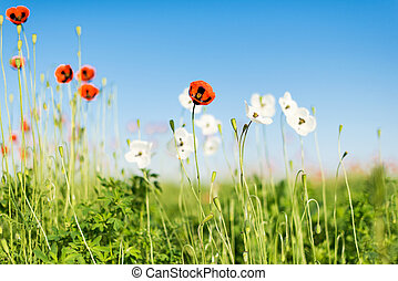 Poppy field against blue sky. Nature composition.