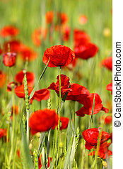 Close up shot of poppy flowers in the field
