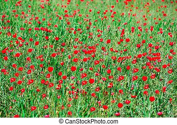 poppy field flower landscape meadow
