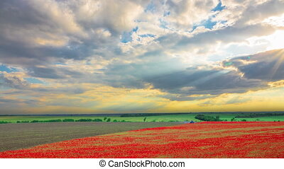 Poppy Field Harvesting at Sunset with Sun Rays. TimeLapse.