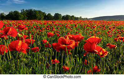 poppy field in summer evening. beautiful nature scenery with...