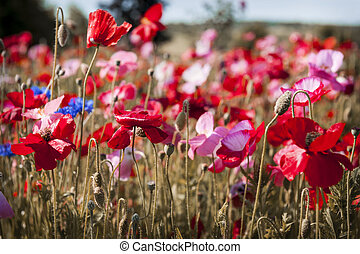 Poppy field - Red and pink poppies with other wildflowers in...