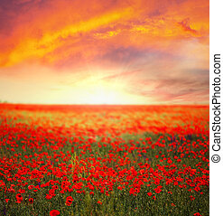 red poppy field at sunset