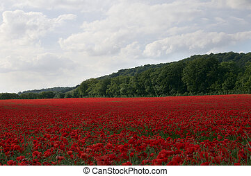 Poppy Field - A field of poppies in the Kent countryside