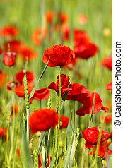 Poppy Field - Close up shot of poppy flowers in the field