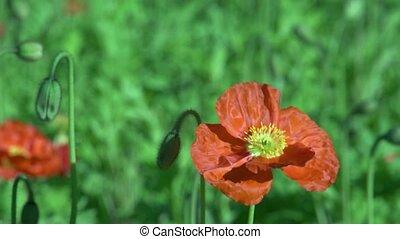 Poppy flower 2 - Dunedin, New Zealand. Close up of Poppy...