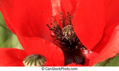Poppy flower close-up - Boll poppy with water drop on red...