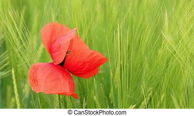 poppy flower closeup nature