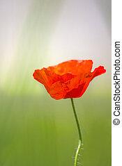 Poppy flower in light