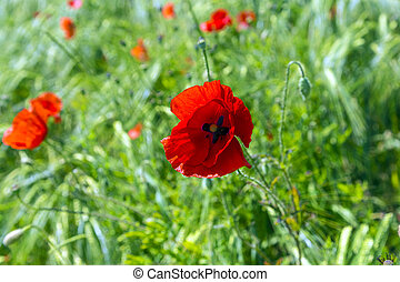 poppy flower in the field
