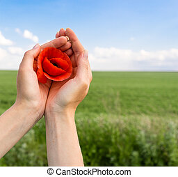 Poppy flower in the hand of man. green field and blue sky.