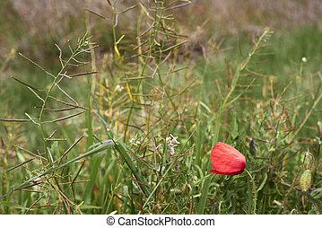 Poppy flower in the vegetation, red flower, solitary, vegetation, green, sticks, sticks