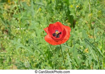 Poppy flower in wild field at spring time