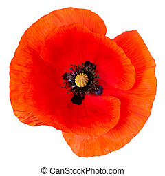poppy flower isolated on white background. Top view.