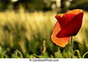 Poppy flower on a blurred background fields