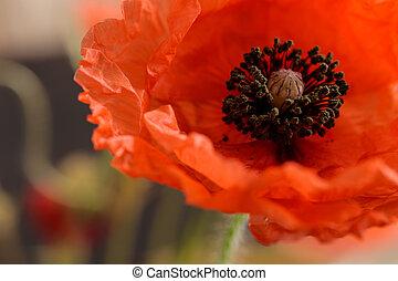 Poppy flower on blurred background.