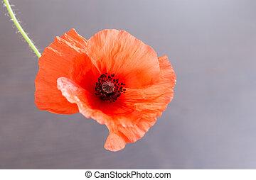 Poppy flower on gray background.
