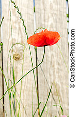 Poppy flower on the background of a wooden fence.