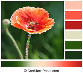 Poppy Flower. Palette With Complimentary Colour Swatches.