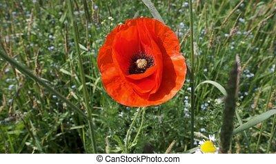 Poppy flower - Papaver - slow motion - Poppy flower -...