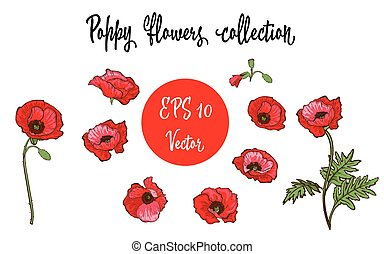Poppy flower. Red poppies isolated on white background. Vector illustration