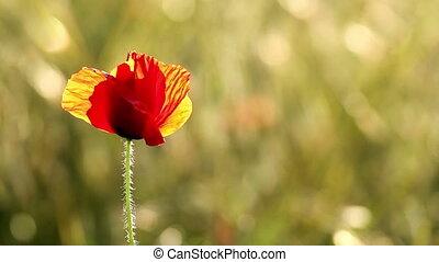 Poppy flower in sunset light