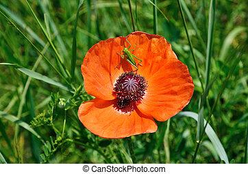 Poppy flower with a grasshopper