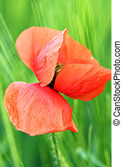 Poppy flower with dew drops spring season