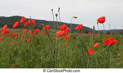 Poppy flowers against the blue sky / summer meadow